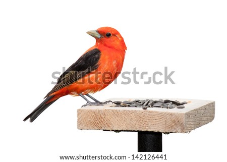 A scarlet tanager sits on a sunflower seed feeder.  Brilliant red plumage with  midnight black wings. The songbird is positioned with its turned ninety degrees opposite its body. White background. - stock photo