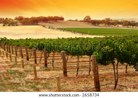 A Scenic Vineyard at Sunset in South Australia
