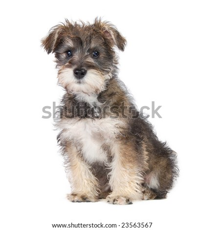 A Schnauzer Yorkie mix puppy on a white background. - stock photo
