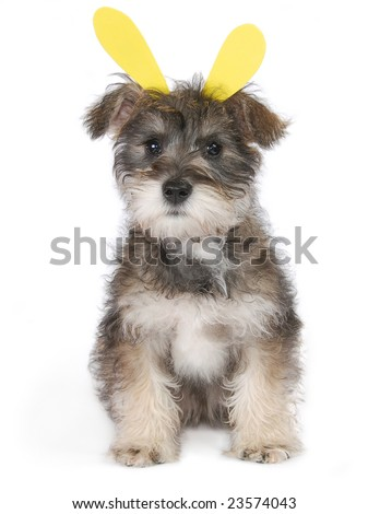 A Schnauzer Yorkie mix puppy with yellow bunny ears on a white background. - stock photo