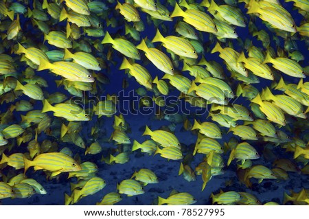 A school of blue striped snappers of the coast of Hawaii - stock photo