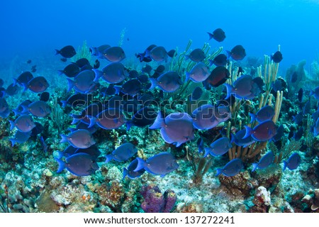 A school of Blue tang (Acanthurus coeruleus) swims over a coral reef in Grand Cayman. - stock photo