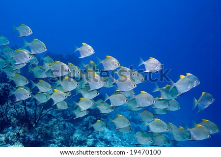 a school of dart fish swimming over the reef - stock photo
