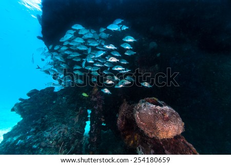 A school of fish gathering around a ship wreck - stock photo