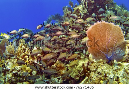 A school of French Grunts and  a Sea Fan in Cayman Brac - stock photo