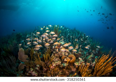A school of grunts swimming under the dive boat - stock photo