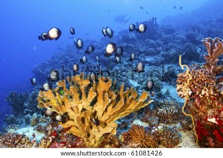 A school of Hawaiian damsel fish stays close to a cortal formation. - stock photo