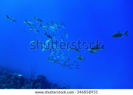 a school of Horse-eyed Jacks swimming in the blue waters of Bonaire in the Caribbean