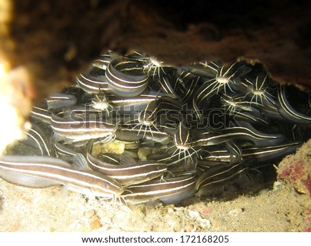 A school of juvenile striped eel catfish hiding inside a coral pinnacle - stock photo