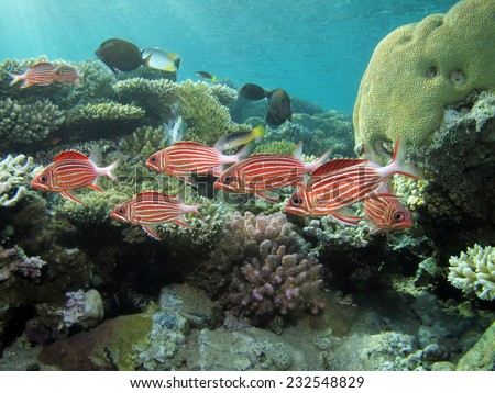 A school of red crown squirrelfish hiding in shallow coral - stock photo
