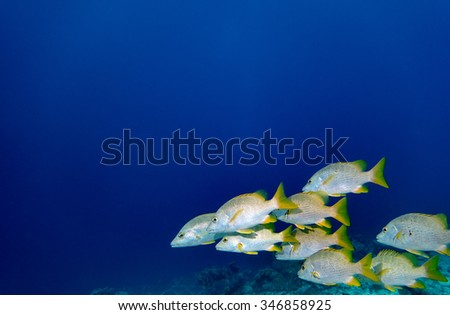A school of Schoolmaster Snappers swimming in teh tropical blue waters of Bonaire in the Caribbean