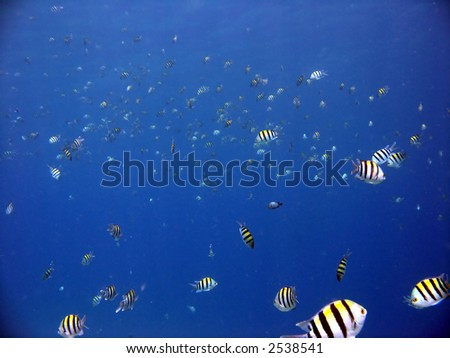 "A school of ""sergeant major"" fish - stock photo"