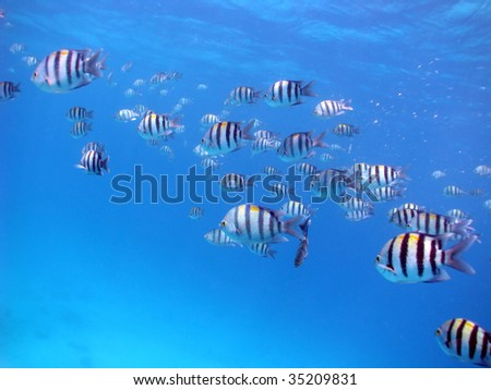 A school of Sergeant major fish - stock photo
