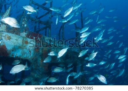 A school of Tomtate Grunts swimming near a shipwreck - stock photo