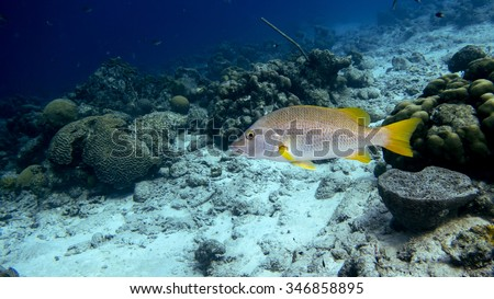 A Schoolmaster snapper swimming in the tropical blue waters of Bonaire in the Caribbean