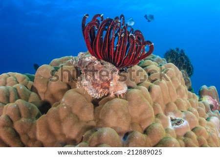 A Scorpion Fish resting on a hard coral on a tropical reef - stock photo