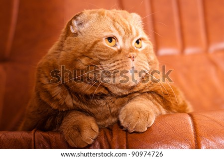 A scottish fold cat lying on leather sofa