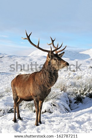 A Scottish Red Deer Stag on a snow covered Rannoch Moor, Glencoe, Scotland. - stock photo