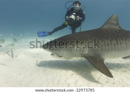 A scuba diver films a tiger shark (Galeocerdo cuvier) as she swims past while scavenging for food - stock photo