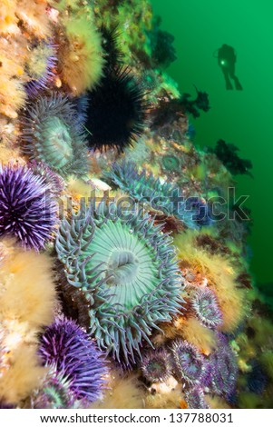A scuba diver hoovers near a colorful reef covered with sea anemones and sea urchins.  The water is green because it's full of plankton, which the anemones feed on during springtime. - stock photo