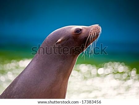A sea lion back lit - stock photo