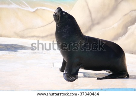 a sea lion basking in the sun - stock photo