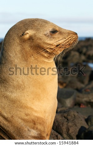 A Sea Lion in Profile - stock photo