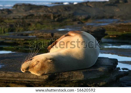 A sea lion resting under the warm afternoon sun on the Galapagos Islands, Ecuador - stock photo