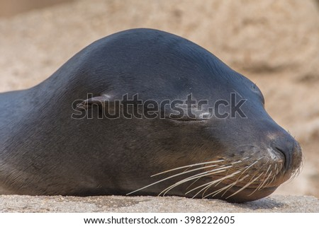 A sea lion taking a nap - stock photo