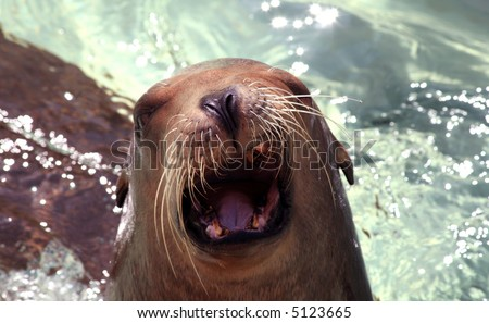 A sea lion with his mouth open waiting for food - stock photo