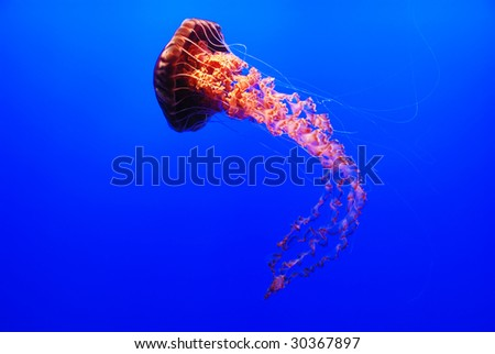 A sea nettle jellyfish - Chrysaora fuscescens on blue background - stock photo