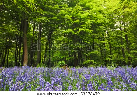 A sea of bluebells in a clearing in English woodland in spring.