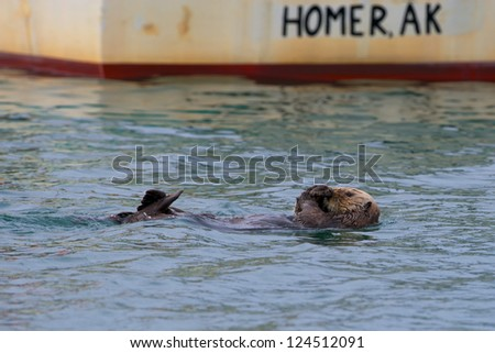 A sea otter swimming on the back in Homer, Alaska - stock photo