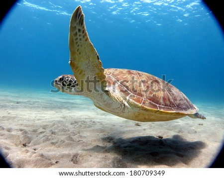A sea turtle - Green turtle (Chelonia mydas) swimming close to the sandy bottom - stock photo