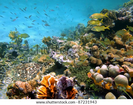 A sea turtle in a thriving coral reef with shoal of tropical fish, Caribbean sea