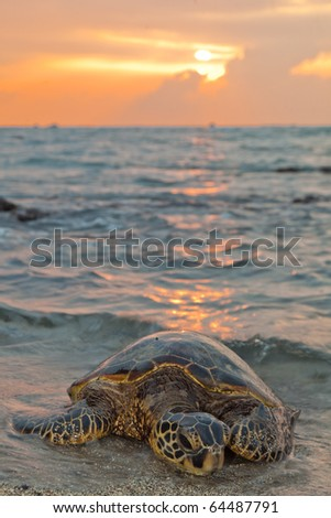 A sea turtle rests on the beach during sunset