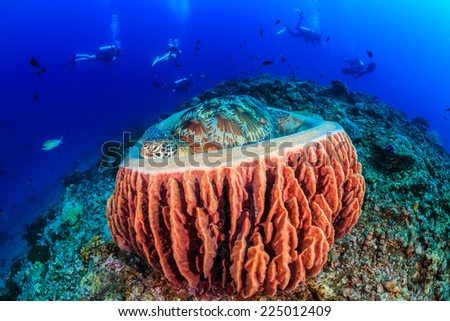 A Sea Turtle sleeps in a sponge as a group of SCUBA divers pass in the background - stock photo