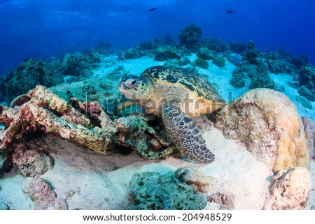 A Sea Turtle stands on the seabed of a coral reef - stock photo