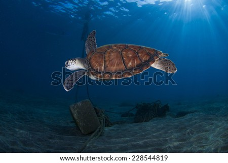 A sea turtle swims at the clear waters of Tenerife (Canary Islands) - stock photo