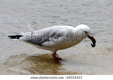a seagull eating a small catfish - stock photo