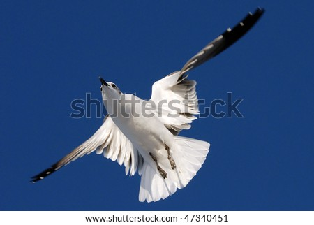 A seagull flying and floating in the sky - stock photo