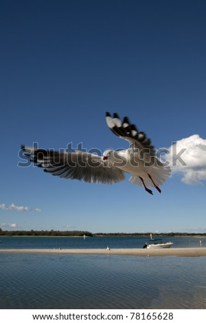a seagull in flight close up on a bright blue sky, gold coast australia. - stock photo