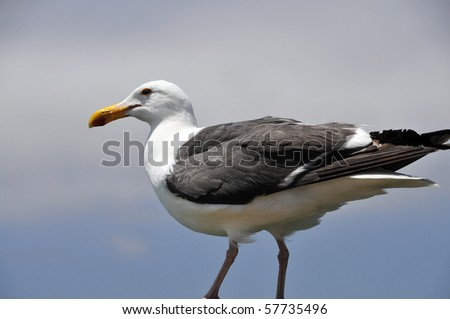 A seagull in profile with a Pacific Ocean background