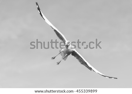 A Seagull is Diagonally Flying in The Sky Searching for Food in Black and White Tone. - stock photo