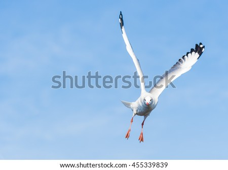 A Seagull is Flying High Search for Food from Above in Clear Blue Sky for Nature Backgrounds. - stock photo