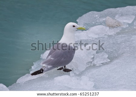 a seagull rests on a floating piece of ice in alaska - stock photo
