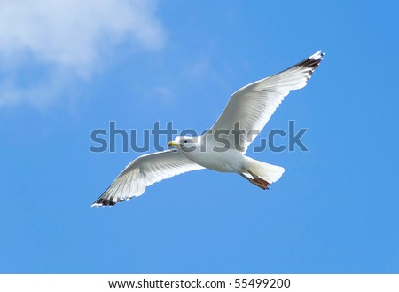 A seagull, soaring in the blue sky - stock photo