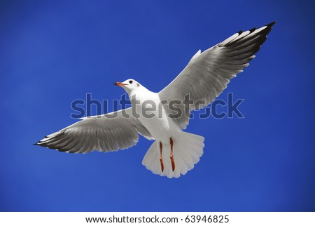 A seagull soaring in the blue sky - stock photo