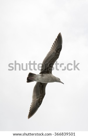 A seagull spreads its wings as it glides effortlessly through a white sky - stock photo