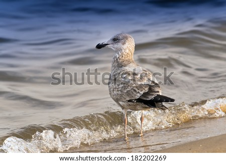 A Seagull standing on a beach near the Chesapeake Bay in Maryland - stock photo